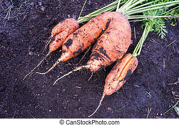 abnormal carrot shapes - v-shaped double carrot roots and...