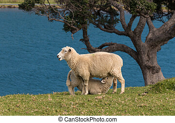 ewe feeding lamb on meadow