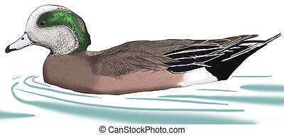 American Wigeon - Anas americana - male