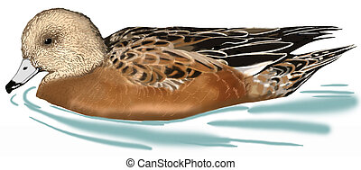 American Wigeon - Anas americana - female
