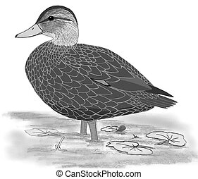 American Black Duck - Anas rubripes