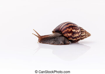 Closeup of garden snail isolate on white background with...