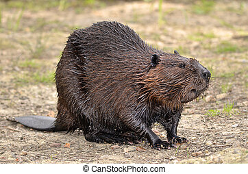 North American Beaver on ground - North American Beaver...