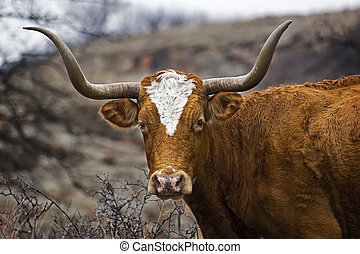 Portrait of a Texas Longhorn - This is a closeup portrait of...