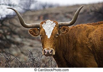 retrato, Tejas, longhorn