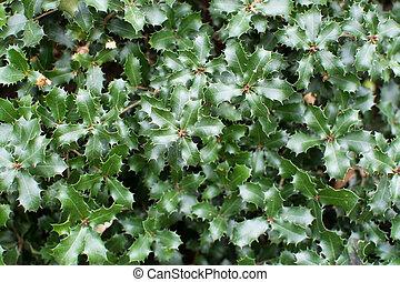 hojas, espinoso, roble,  kermes