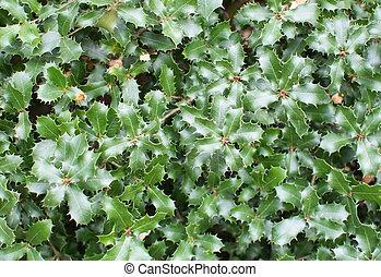 Kermes, roble, espinoso, hojas,