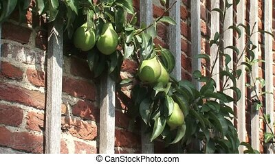 Branch with pear fruit in summer breeze, growing on a...