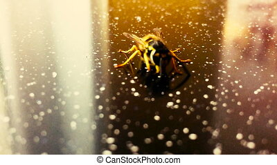 Wasp on a table closeup - Wasp on a table close-up in search...