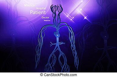 Vascular system - Digital illustration of vascular system in...