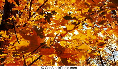 Maple leaves in Autumn. Autumn leaves of maple rayed sun.
