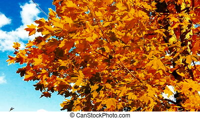 Maple leaves in Autumn. Autumn maple leaves against the blue...