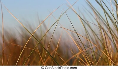 The grass moving in the wind in golden light tones - Closeup...