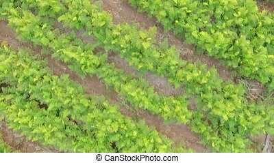 AERIAL VIEW Rows Of Green Carrot Tops In The Field - Camera...
