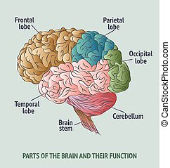 Parts of the human brain - Structure of the Human Brain.