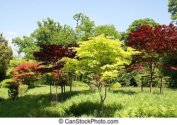 Acers. Maple trees. deciduous trees - Acer, maple, or...