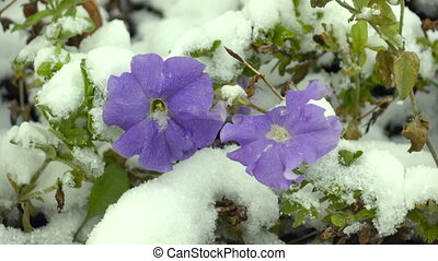 blue flowers with snow - blue flowers covered with snow