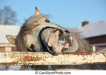 Cute gray shetland pony portrait smiling
