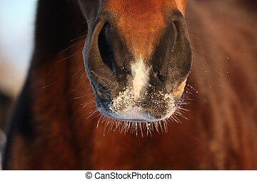 Close up of brown horse nose in winter