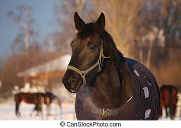 Black horse in warm rug in winter portrait