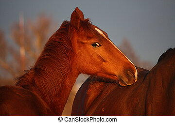 Portrait of young chestnut foal