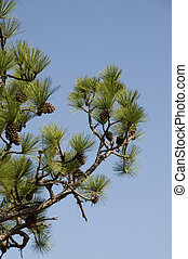 Pine Tree Against Blue Sky.