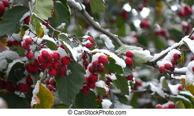 hawthorn berries in the snow 4 - green leaves and red...