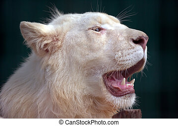 white lion with wide open mouth - the white lion with wide...