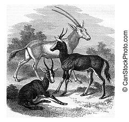 Scimitar-horned Oryx antelope, Antelopes Bless-Bok, vintage...