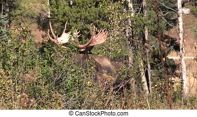 Bull Moose in Rut - a bull moose looking for cows during the...