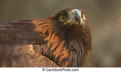 Golden eagle - Portrait of Golden eagle Aquila chrysaetos