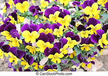 Yellow and violet pansy flower. - Yellow and violet pansy...