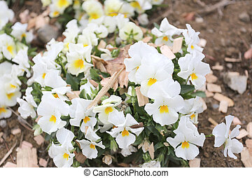 White pansy flower is bloom - White pansy flower is bloom in...