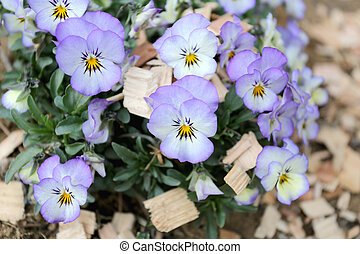 Mix color pansy flower - Mix color pansy flower in Japan...