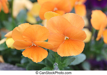 Orange pansy flower - Orange pansy flower in Japan garden