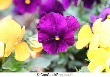 Purple pansy flower. - Purple pansy flower in Japan garden.