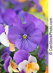 Purple pansy flower - Purple pansy flower in Japan garden