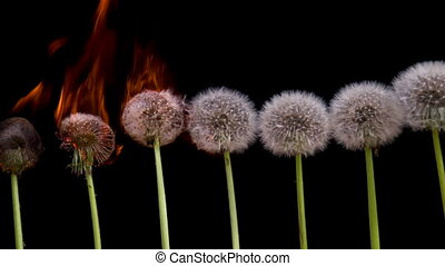 Ecocatastrophe - Dandelions are ranked on a black background...