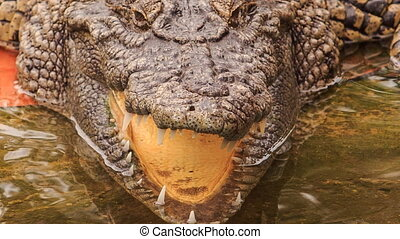 closeup panorama of crocodile's head with open jaw in park -...