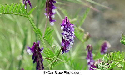 Tight Shot Of Purple Lupine Moving - Close Shot Of Purple...