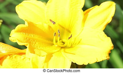 bumblebee hardly takes off from a lily flower - The...