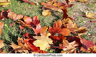 Autumnal leaves on the ground - Autumnal maple leaves on the...