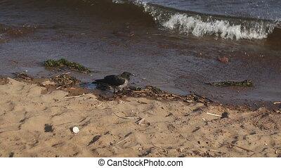 Grey crow walking on a beach - Grey crow walking on beach