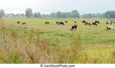 Cows grazing on the meadow Farm outside the city Agriculture...