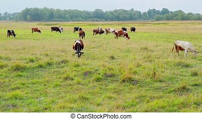 Cows graze on the farm Cattle grazing Agriculture in the...