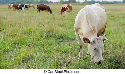 Cow eating grass Green pasture Organic dairy products Cattle...