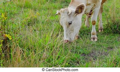 Calf chewing grass - Cow grazing on a green meadow Close-up...