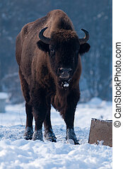 European Bison Bison bonasus, male, looking in Winter...