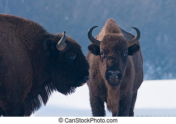 Two European Bisons Bison bonasus Portrait in Winter...