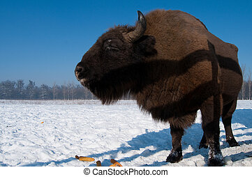 European Bison Bison bonasus eating Corn Cobs in Winter time...